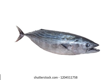 The Atlantic bonito (Sarda sarda) is a large mackerel-like fish of the family Scombridae on white background
