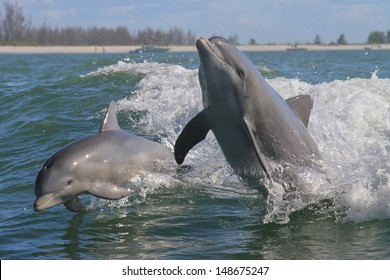 Atlantic Bottlenose Dolphin - Tursiops truncatus