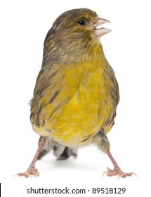 Atlantic Canary, Serinus canaria, 2 years old, in front of white background