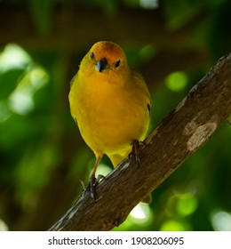 Atlantic Canary, a small Brazilian wild bird. The yellow canary Crithagra flaviventris is a small passerine bird in the finch family.
