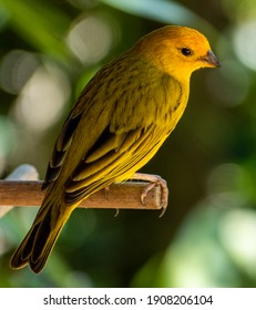 Atlantic Canary, a small Brazilian wild bird.The yellow canary Crithagra flaviventris is a small passerine bird in the finch family.