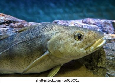 Atlantic Cod, Gadus morhua