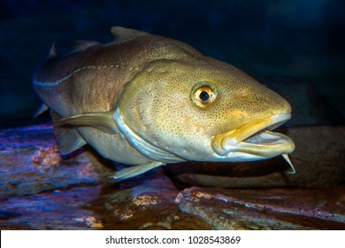 Atlantic Cod, Gadus morhua, portrait,close up