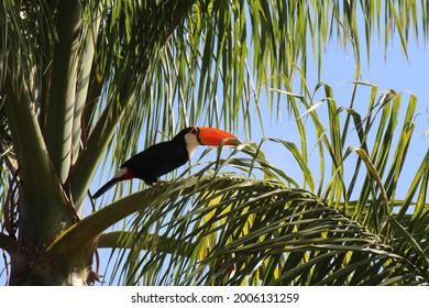 Atlantic Forest Birds, Brazil - Toco Toucan