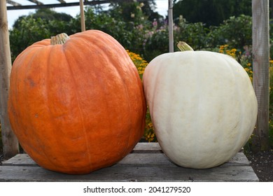 Atlantic giant orange and huge pure white polar bear pumpkins in west London The whole family goes out to a pumpkin patch in fall to choose the fruits which will then be carved into Halloween lanterns