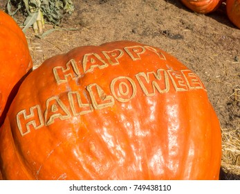 Atlantic Giant Pumpkin (Cucurbita maxima) is  large red-orange squash often seen at Halloween in the United States.