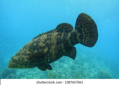 The Atlantic goliath grouper or itajara, also known as the jewfish, is a large saltwater fish of the grouper family found primarily in shallow tropical waters among coral and artificial reefs.