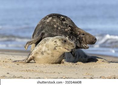 Atlantic Grey Seal - Bull protecting cow