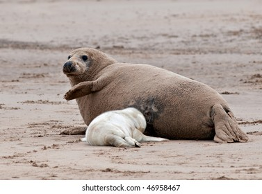 Atlantic Grey Seal with feeding pup