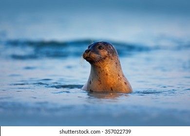 Atlantic Grey Seal, Halichoerus grypus, portrait in the dark blue water with morning light, animal swimming in the ocean waves, Helgoland island, Germany.