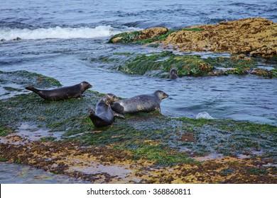 Atlantic Grey Seal on the San Diego The Children's Pool on Coast Boulevard in La Jolla