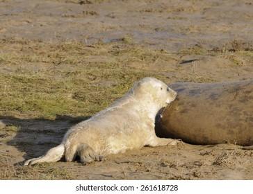 Atlantic Grey Seal Pup - Halichoerus grypus Feeding off mother