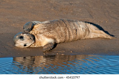 Atlantic grey seal pup looking cute