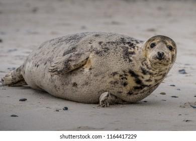 Atlantic Grey Seal Pup on Sandy Beach/Atlantic Grey Seal Pup/Atlantic Grey Seal Pup (Halichoerus Grypus)