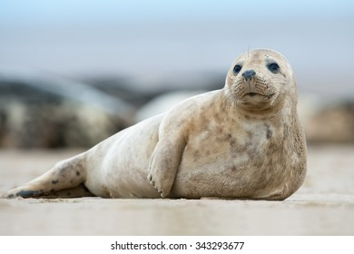 Atlantic Grey Seal Pup on Sandy Beach/Atlantic Grey Seal Pup/Atlantic Grey Seal Pup (Halichoerus Grypus)