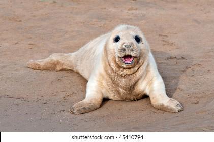 Atlantic grey seal pup smiling