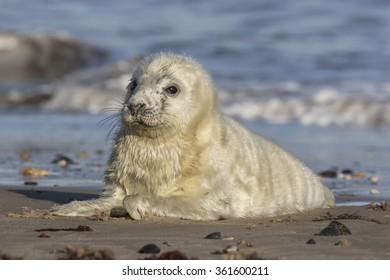 Atlantic Grey Seal pup suckling - Halichoerus grypus