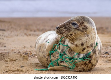 An Atlantic Grey Seal, tragically caught in the remains of a fishing net, rests on Horsey Beach in Norfolk England. These  pictures were used to alert animal welfare services to the seal's plight.