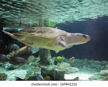 Atlantic or Kemp Ridley critically endangered sea turtle