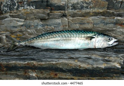 Atlantic Mackerel  Scomber scombrus