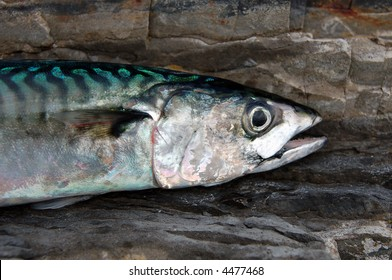 Atlantic Mackerel  Scomber scombrus