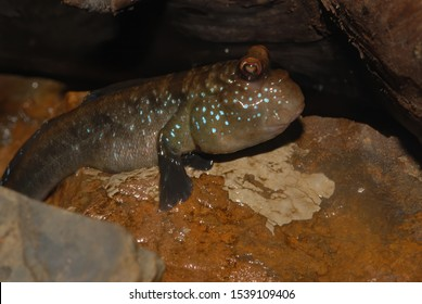The Atlantic mudskipper (Periophthalmus barbarus) is a species of mudskipper native to fresh, marine and brackish waters of the tropical Atlantic coasts of Africa, including most offshore islands.