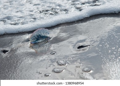 The Atlantic Portuguese Man o' War (Physalia physalis), is a marine hydrozoan found in the Atlantic, Indian and Pacific Oceans. Its long tentacles deliver a painful sting, which is venomous.