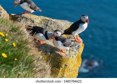 Atlantic Puffin bird with orange beak also know as Common puffin is a species of seabird in the auk family. Latrabjarg cliff, Westfjords, Iceland
