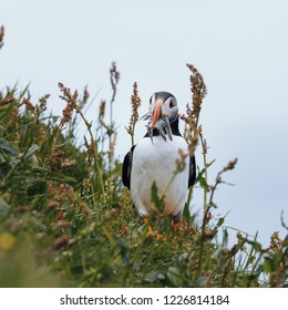 Atlantic Puffin with catch at Mykines, Faroe Islands, Europe