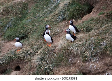 An Atlantic Puffin colony on the cliffs of Grimsey Island, Iceland