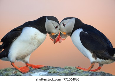 Atlantic Puffin or Common Puffin, Fratercula arctica, Norway