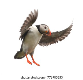 Atlantic Puffin or Common Puffin - Fratercula arctica in flight