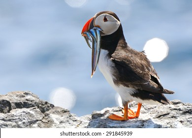 Atlantic puffin, Farne Islands Nature Reserve, England