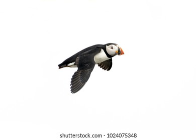 Atlantic Puffin in flight, white background isolated. The clown faced bird. Newfoundland, Canada. Slight motion blur