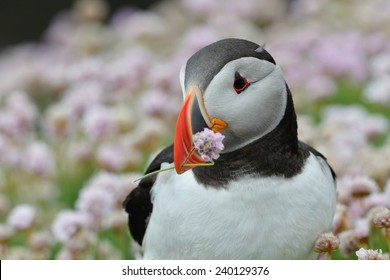 Atlantic Puffin with flower