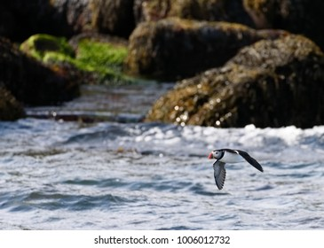 Atlantic puffin flying just above ocean with rocky island on the background near Reykjavik, Iceland on early June morning.