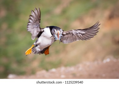 Atlantic Puffin flying in to land with beak full of sand eels on Skomer Island