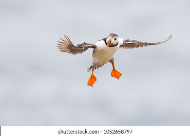 Atlantic Puffin (Fratercula arctica) adult, flying against sky, Great Saltee, Saltee Island, Ireland.