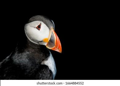 An Atlantic puffin (Fratercula arctica) close up portrait.