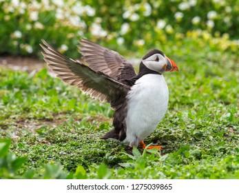 Atlantic puffin (Fratercula arctica), common puffin