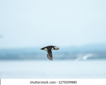 Atlantic puffin (Fratercula arctica), common puffin flying