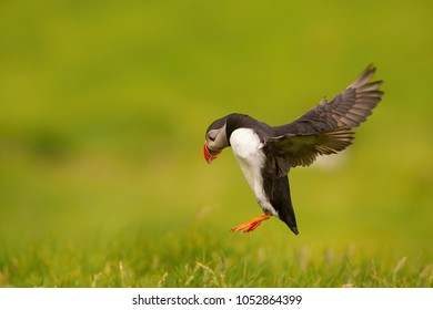 The Atlantic Puffin, Fratercula arctica is flying in the green background clouse to its nesting hole. It is typical nesting habitat in the grass in small island named Mykines in the Faroe Islands.