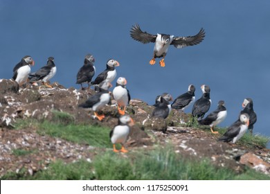 Atlantic puffin (Fratercula arctica) landing on nesting island in Elliston, Newfoundland and Labrador