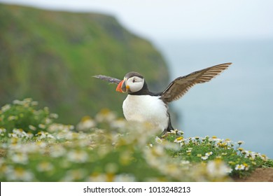 Atlantic Puffin, Fratercula arctica, on a cliff top covered with Mayweed exercising its wings, selective focus and diffused Atlantic Ocean background, Skomer Island, Pembrokeshire, West Wales, UK