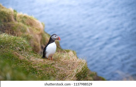 Atlantic puffin (Fratercula arctica) with a seascape background. This is the puffin colony in Iceland.