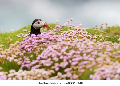 Atlantic Puffin - Fratercula arctica, Shetlands, Scotland