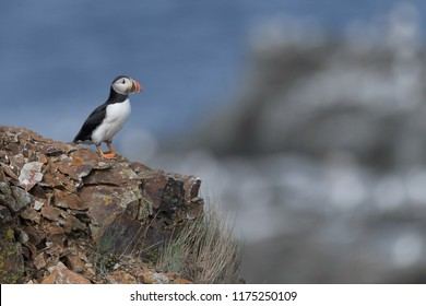 Atlantic puffin (Fratercula arctica) standing at edge of cliff in Elliston, Newfoundland and Labrador