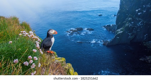 Atlantic puffin, fratercula arctica, standing on cliff in summertime. Panorami horizontal composition of colorful seabird observing on mountainside near to sea. Wild aquatic animal looking to the blue