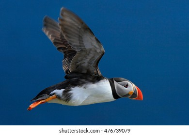 Atlantic Puffin, Fratercula artica, artic black and white cute bird with red bill in flight in nature habitat, Iceland.