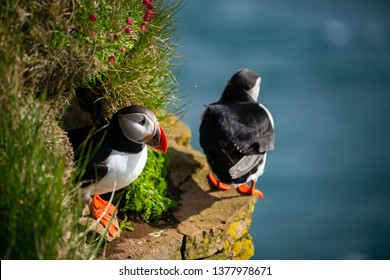 Atlantic puffin also know as common puffin is a species of seabird in the auk family. Iceland, Norway, Faroe Islands, Newfoundland and Labrador in Canada are known to be large colony of this puffin.
